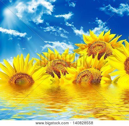 Beautiful sunflower field in summer. yellow flowers. blue sky