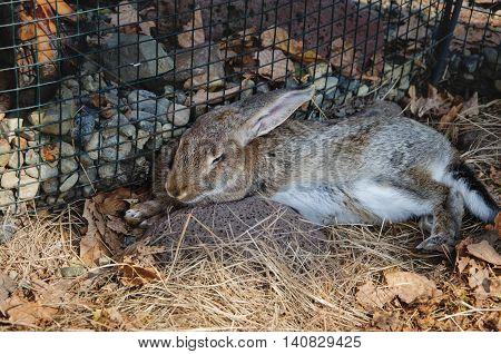 Grey bunny in a safari park sleeps