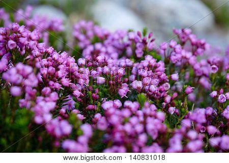 Purple alpine heather flowers. Alpine meadows near Whistler in Garibaldi Provincial park. Squamish British Columbia Canada