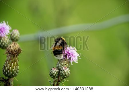 Bee making honey in a pink flower