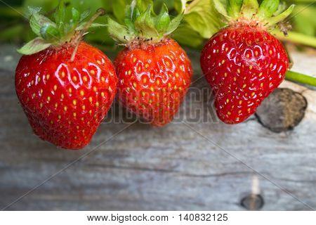 Three juicy strawberries in the garden hanging over wood.