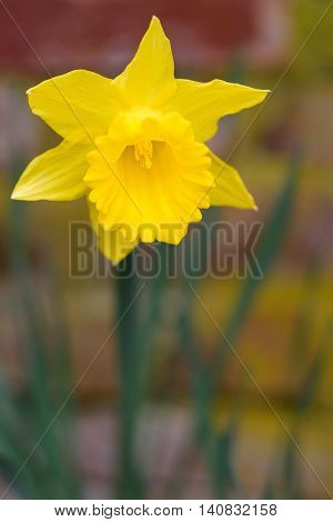 Closeup of a single daffodil, against a blurred brick background
