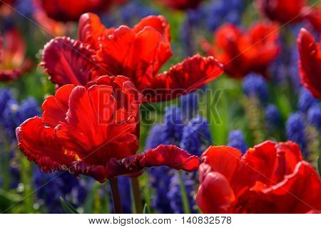 Closeup of red tulips with grape hyacinth in the background