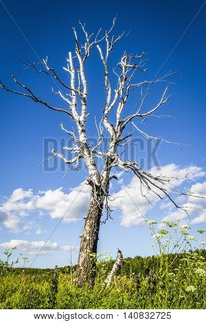 The old dry birch tree stands alone