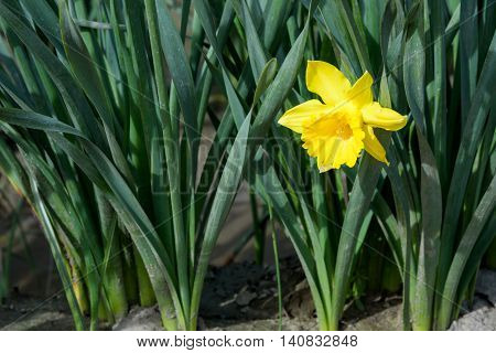 Closeup of a short daffodil blooming between the stems of others in the row