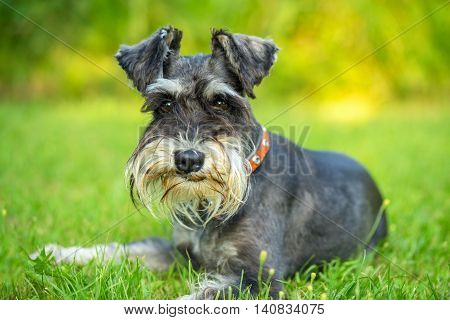 Miniature schnauzer lying on the пкуут grass