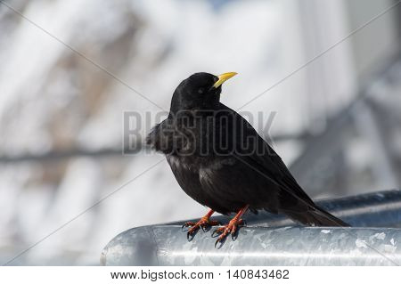 back alpine chough looks around - depth-of-field