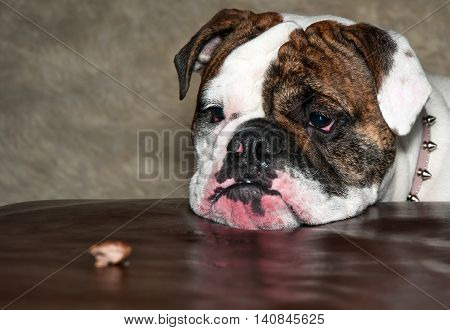 A bulldog awaits permission to snatch up a tasty morsel of food.