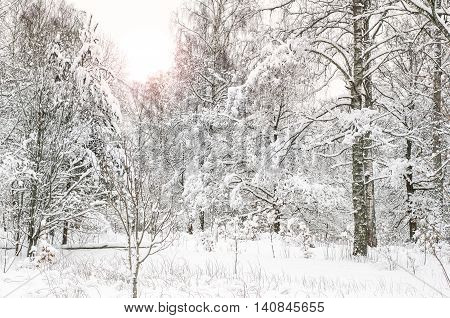 Calm frosen forest covered in snow in the Swedish countryside.