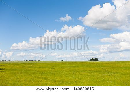 Beautiful, green and luscious barley field with blue skies and white clouds