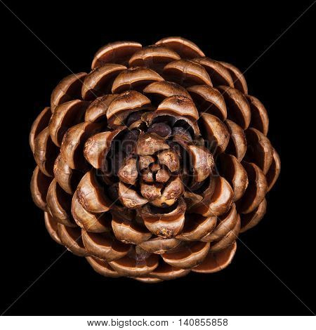 Pine cone closeup. Geometric conifer cone in the division Pinophyta that contains the reproductive structures, the seeds, that can be seen in the picture. Macro photo from above on black background.