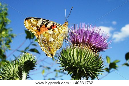 Close-up of Small Tortoise shell butterfly (Aglais urticae) drinks nectar from flowering burdock