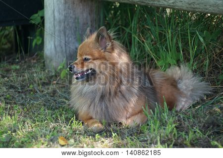 Dog Breeds Of German Spitz Resting