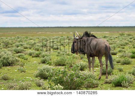 Blue wildebeest (Gnu or Connochaetes taurinus) in the Etosha national park before sunrise. Big animal in the nature habitat Namibia Africa
