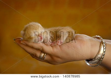 Small kitty sleeping on woman's hand in orange background