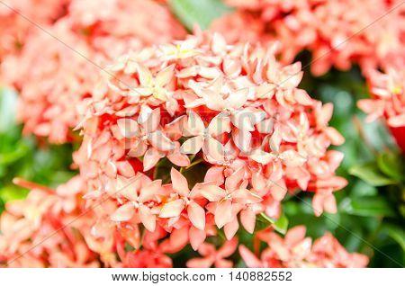 Closeup pink ixora, West Indian Jasmine (Ixora, spp.)