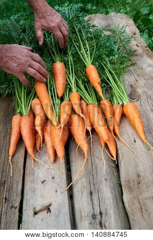 Closeup of senior man human hands taking putting fresh carrots with green leaves over weathered wood