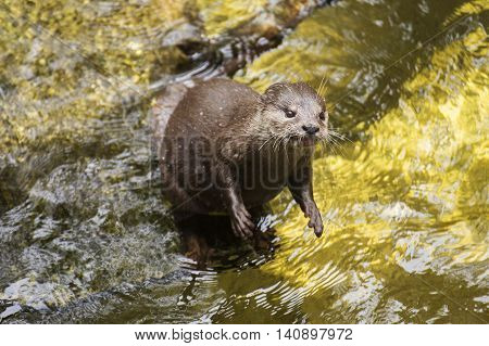 River otter looking something on the water