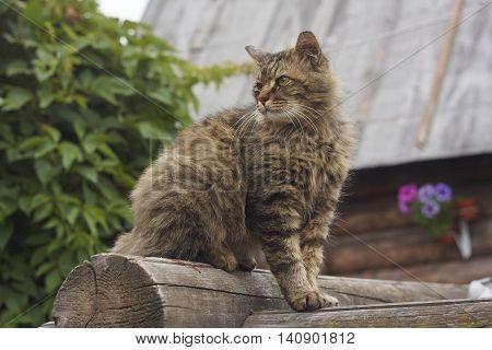 Siberian cat on blockhouse wall in garden