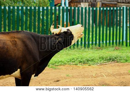 mooing black and white cow separated from its herd a