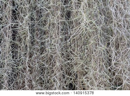 Natural 'curtain' formed by Spanish moss suitable as background. (Tillandsia usneoides)