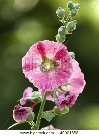 Blooming Hollyhock flower, Alcea setosa