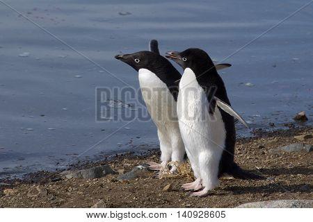 Adelie penguins walking on the beach of Devil's Island in Antarctica
