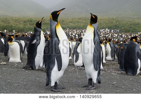 Many king penguins gathering on the beach of Gold Harbor in South Georgia