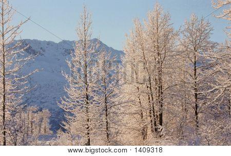Frozen Trees In Alaska