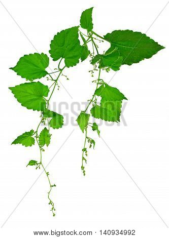 Branches hop. Very young buds of hops with leaves isolated on white background without shadows. Fresh green hops with cones . Beer production ingredient. Brewing.Spring. Summer.