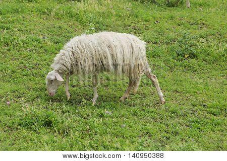 sheep grazing in Martignoano Lake - Italy