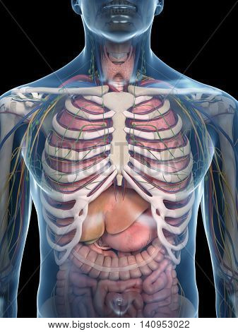 3d rendered medically accurate illustration of the thorax anatomy