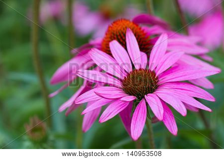 Macro of a purple coneflower - Echinacea purpurea