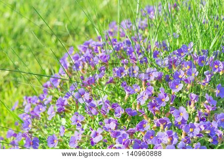 Tiny Blue Decorative Flowers Aubrieta In Sunshine Ornamental Garden