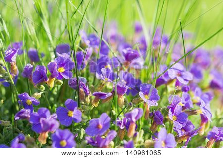 Multitude Aubrieta Small Blue Flowers In Grass On Alpine Glade