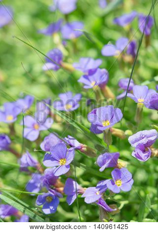 Summer Blue Flowers In Fresh Grass On Sunny Field