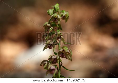 Flowers of a Broad leaved helleborine (Epipactis helleborine) a wild orchid from Europe.