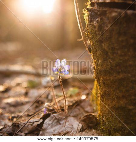 Hepatica nobilis beautiful sunlight and blurred background