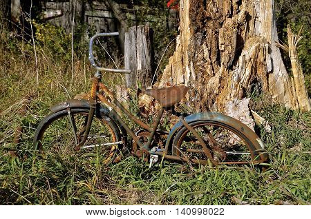 An rusty old bicycle and a huge tree are in the stages of deterioration.
