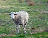 A lone sheep standing behind a wire fence. poster