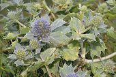 Sea Holly - Eryngium maritimum Prickly Flower of Sea Shore poster