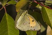 A pale clouded yellow is sitting on a leaf poster