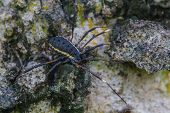 Harvestman spider or daddy longlegs close up on tree in forest poster