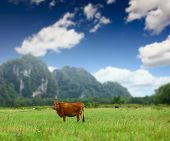 Cow on a valley with green meadow and mountains on a horizon poster