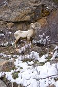 Big Horn Sheep with rocky background and patches of snow. poster