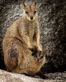 rock wallaby with baby in her pouch. poster