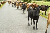 Cattle drive on a road during summer poster