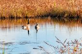 Two Canada geese resting on the water in a Northeast Ohio wetland poster