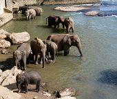 Elephants bath in Sri Lankan river water poster