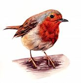 Detailed watercolour painting of a robin red breast poster